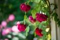 Картинка розы, бутоны, розовый куст