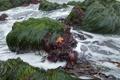 Картинка море, трава, пена, водоросли, камни, прибой, морская звезда
