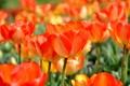Картинка цветы, весна, тюльпаны, оранжевые, много, якрие