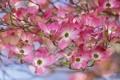 Картинка цветение, кизил, лепестки, цветущий кустарник, цветки