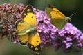 Картинка цветок, бабочки, сиреневый, две, желтые