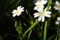 Картинка цветок, зелень, трава, белый, макро