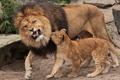 Картинка лев, львёнок, отцовство, воспитание