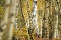 Картинка осень, лес, листья, деревья, березы, роща