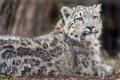 Картинка кошка, взгляд, мокрый, ирбис, снежный барс, детёныш, ©Tambako The Jaguar