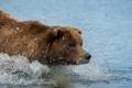 Картинка вода, брызги, природа, медведь