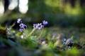 Картинка цветы, природа, Hepatica