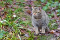 Картинка кошка, трава, листья, лесной кот, дикий кот, ©Tambako The Jaguar