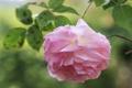 Картинка роза, цветок, розовый, цветение, лепестки, макро, нежность