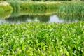 Картинка зелень, лето, трава, пруд, камыши, сад, Нидерланды