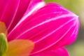 Картинка розовый, цветок, обои, лепестки
