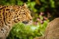 Картинка усы, морда, хищник, профиль, дикая кошка, амурский леопард