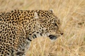 Картинка трава, морда, хищник, леопард, профиль, дикая кошка