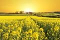 Картинка поле, весна, цветение, рапс