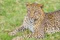 Картинка хищник, отдых, саванна, взгляд, леопард