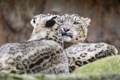 Картинка кошки, пара, ирбис, снежный барс, ©Tambako The Jaguar