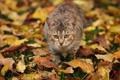 Картинка листья, осень, трава, идёт, кошка