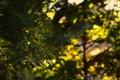 Картинка зелень, листья, солнце, макро, деревья, закат, природа