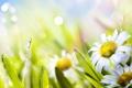 Картинка лето, трава, солнце, цветы, природа, зеленый, ромашка