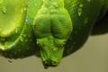 Картинка чешуя, капли, зеленый, змея, голова, питон
