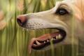 Картинка язык, природа, собака, клыки, профиль