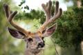 Картинка природа, олень, рога