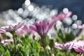 Картинка цветы, природа, маргаритки