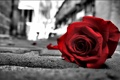 Картинка макро, улица, роза