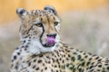 Картинка язык, кошка, морда, гепард, ©Tambako The Jaguar