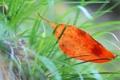 Картинка макро, оранжевый, листик, в траве