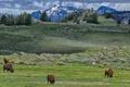 Картинка Yellowstone National Park, Lamar Valley, bison