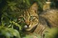 Картинка трава, глаза, кот, усы, котэ