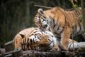 Картинка кошки, тигр, котёнок, тигрица, тигрёнок, амурский