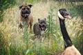 Картинка собаки, погоня, гусь