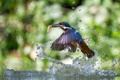 Картинка alcedo atthis, рыба, птица, улов, вода, брызги, обыкновенный зимородок