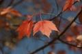 Картинка листья, осень, небо, ветка