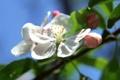 Картинка цветок, листья, дерево, лепестки, яблоня