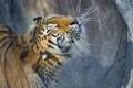 Картинка брызги, ©Tambako The Jaguar, амурский тигр, мокрый, тигр, кошка