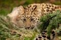 Картинка ветка, леопард, детёныш