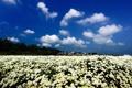 Картинка поле, облака, цветы, природа, здания, белые, хризантемы