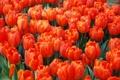 Картинка тюльпаны, бутоны, алые