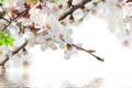 Картинка вода, весна, цветочки, цветение, веточки