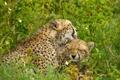 Картинка трава, детёныш, гепарды, материнство