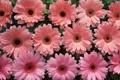 Картинка нежные, Герберы, розовые, цветы